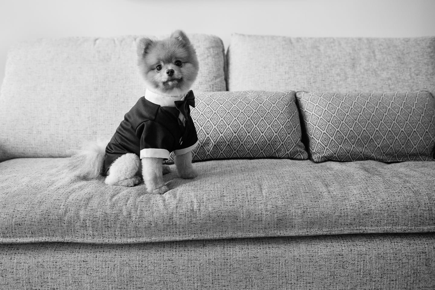 pomeranian dog dressed in tuxedo for wedding at gurneys inn in montauk long island